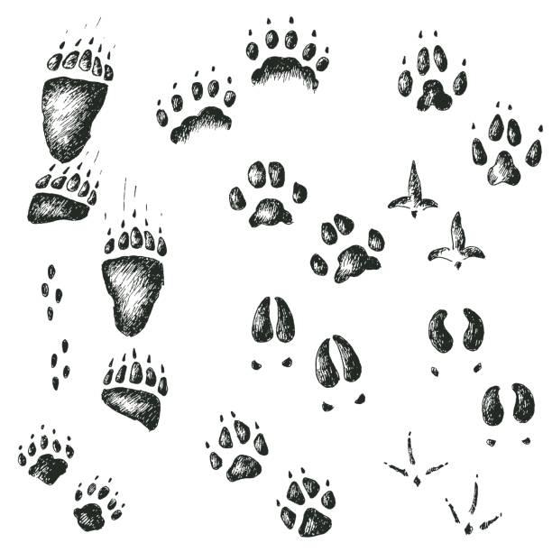 Best Bear Track Illustrations, Royalty.