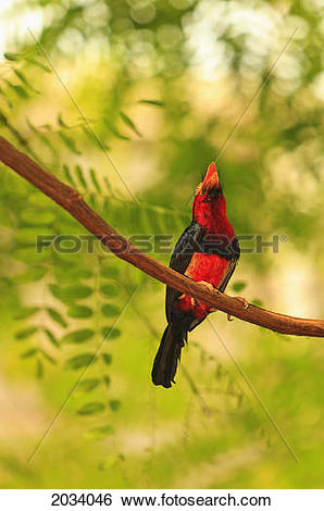 Stock Images of Bearded Barbet (Lybius Dubius) At San Diego Wild.