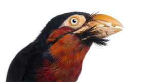 Bearded Barbet Bird Stock Photos, Images, & Pictures.
