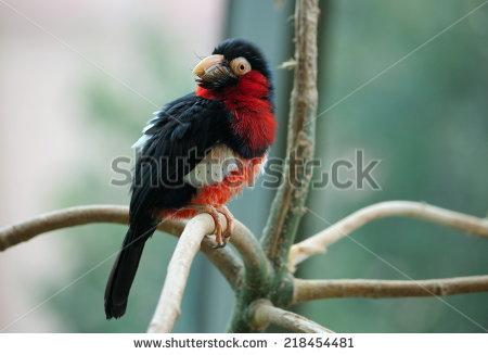 African Barbet Stock Photos, Royalty.