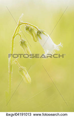 Stock Photo of Bearded Bellflower (Campanula barbata) in an Alpine.