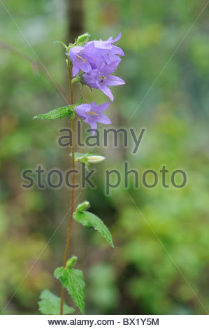 Campanula Stock Photos & Campanula Stock Images.