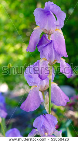 "lavender Bearded Iris"" Stock Photos, Royalty."