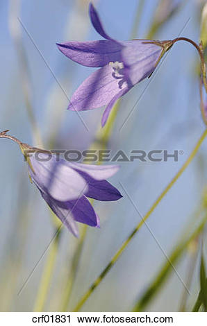 Stock Photography of Germany, Spreading bellflower (Campanula.