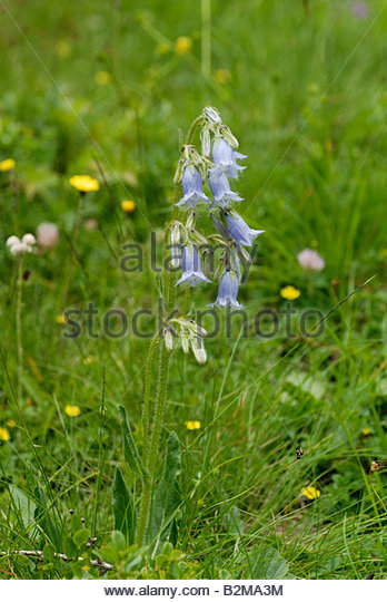 Blue Bellflower Stock Photos & Blue Bellflower Stock Images.