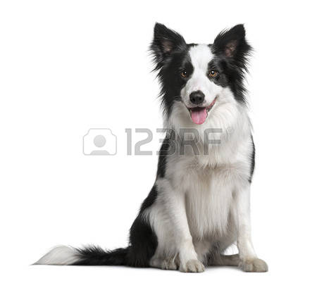 Collie Stock Photos Images. Royalty Free Collie Images And Pictures.