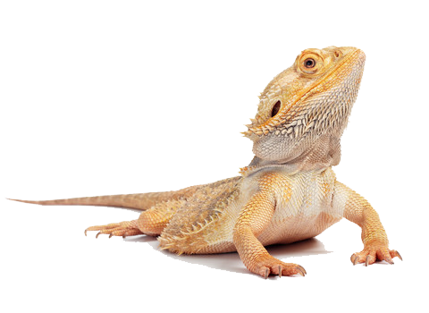 Bearded Dragon PNG Images Transparent Free Download.