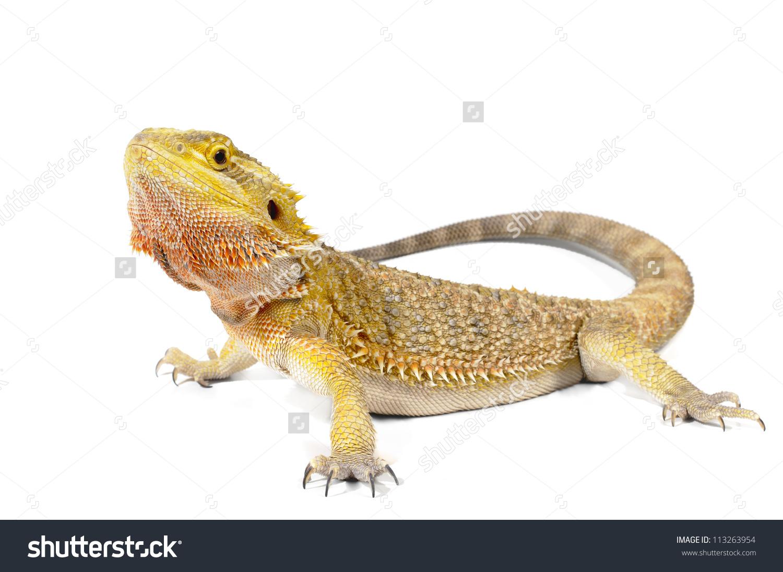 Bearded Dragon On White Background Stock Photo 113263954.