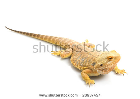 Close Skin Texture Bearded Dragon Pogona Stock Photo 20937463.