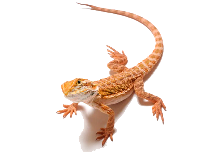 Bearded Dragon PNG Clipart.