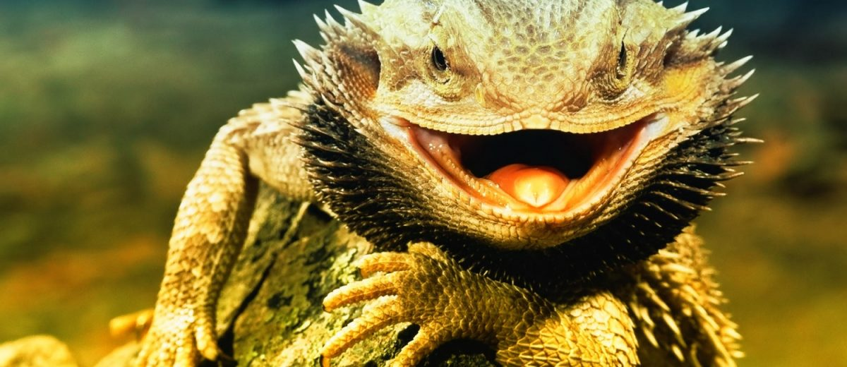 What Can Bearded Dragons Eat?.
