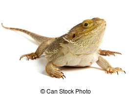 Bearded dragon Images and Stock Photos. 1,969 Bearded dragon.