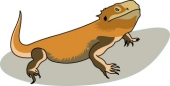 Free Bearded Dragon Pictures.