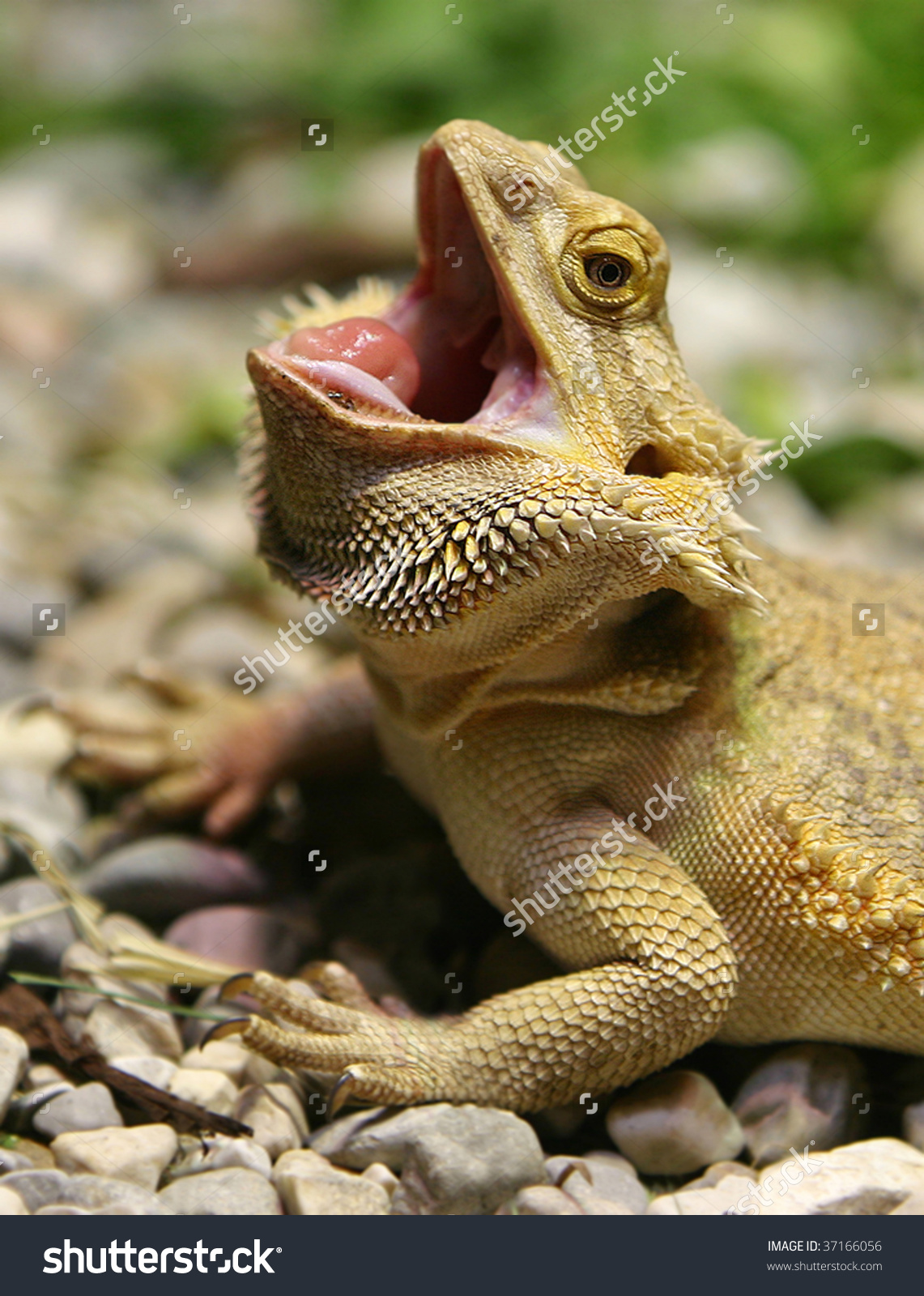 Bearded Dragon Opened Mouth Stock Photo 37166056.