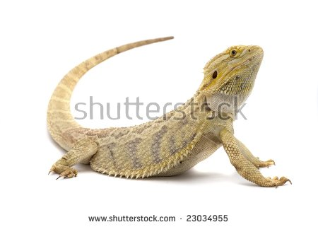 Bearded Dragon Isolated On White Background Stock Photo 23034955.