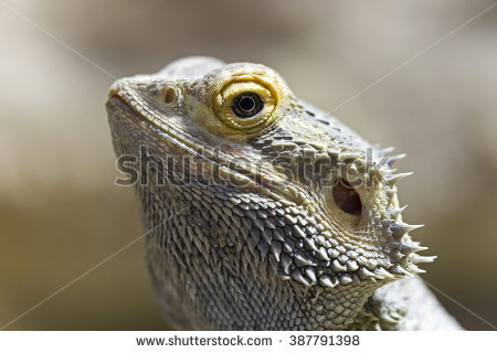 Portrait Little Lizard Open Mouth Stock Photo 13167121.