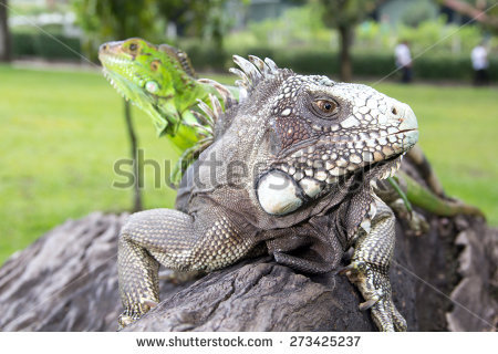 Bearded Dragon Lizard Mouth Open Stock Photo 2175603.