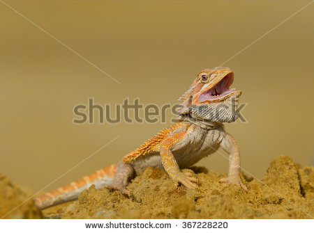 central_bearded_dragon