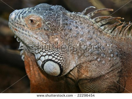 Crocodile Mouth Eye Open Mouth Crocodile Stock Photo 419149762.