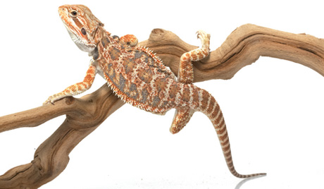 Bearded Dragon Clipart Black And White.