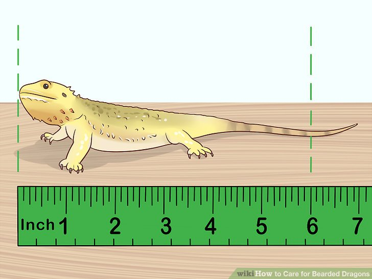 How to Care for Bearded Dragons (with Pictures).