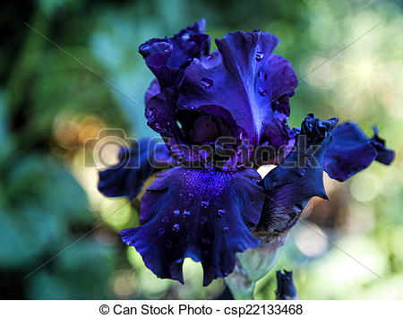 Bearded iris Images and Stock Photos. 883 Bearded iris photography.