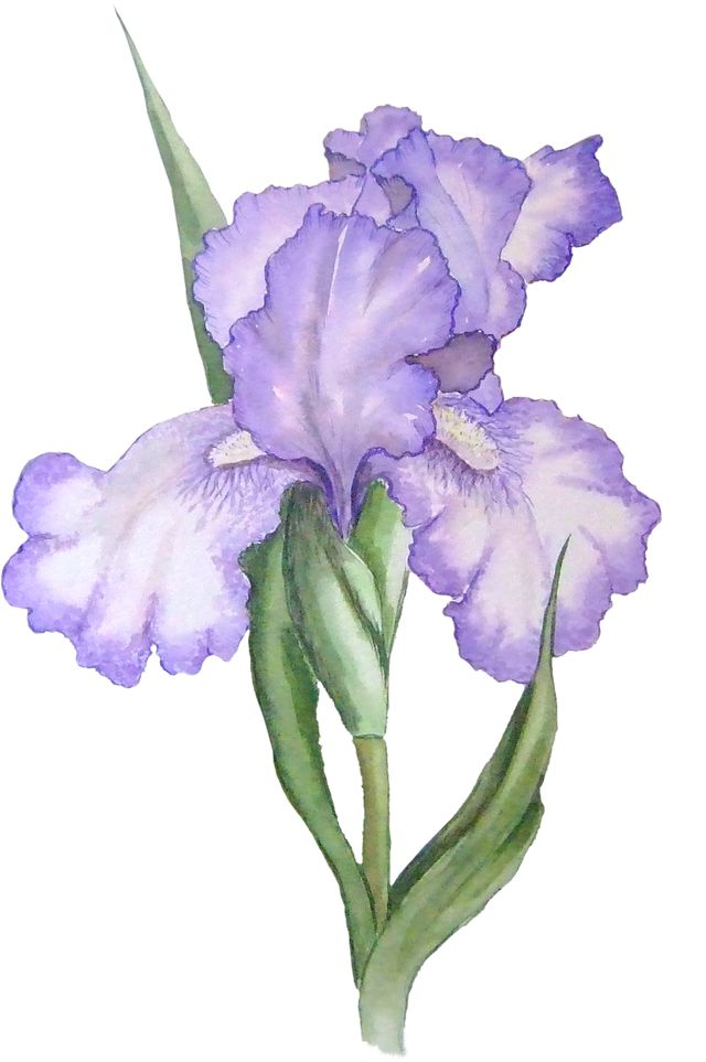 1000+ ideas about Iris Flower Pictures on Pinterest.