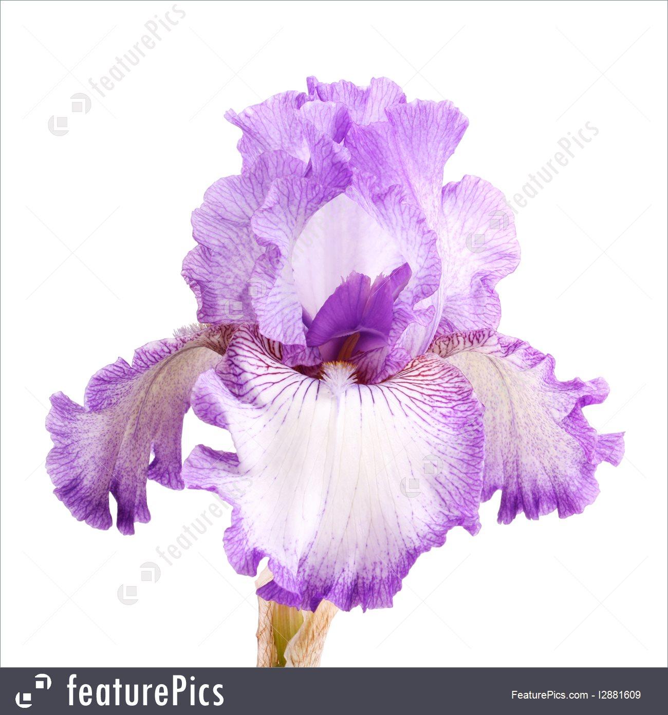 iris flower clip art #76.