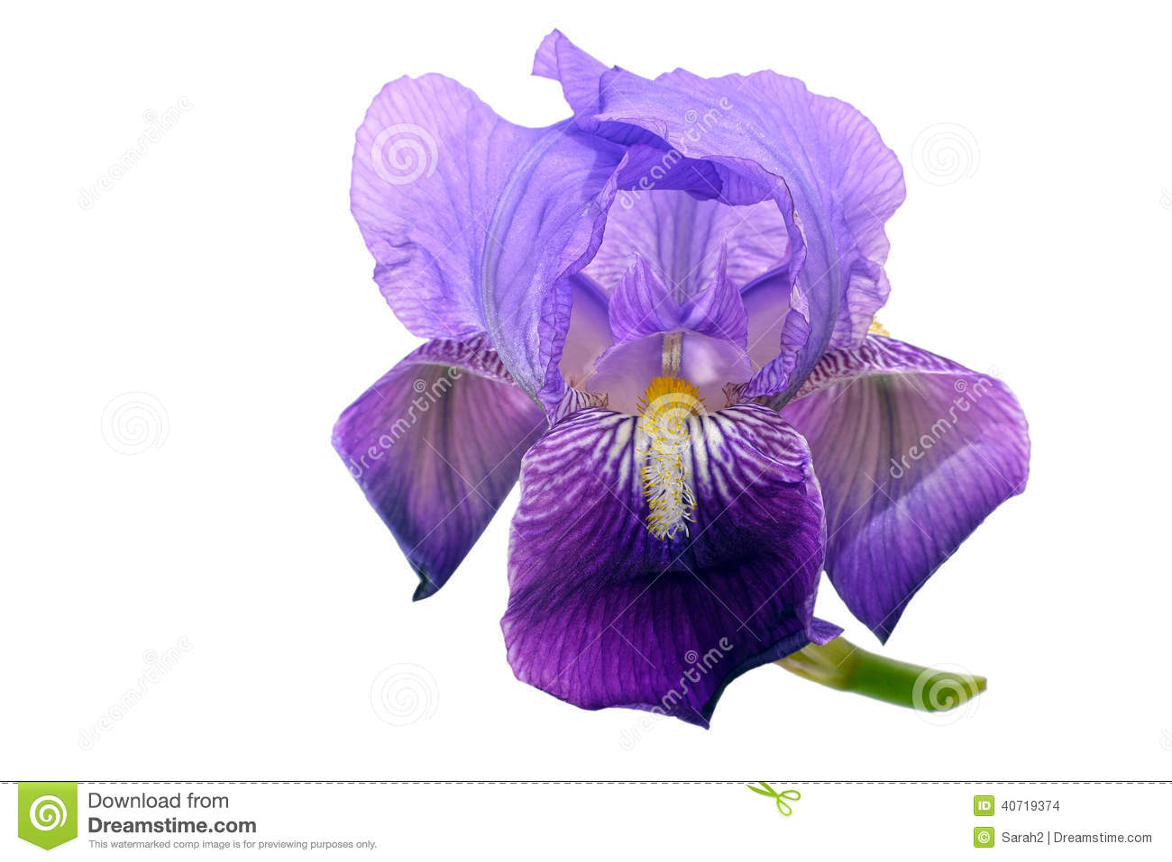 Purple Bearded Iris Flower Royalty Free Stock Photos.