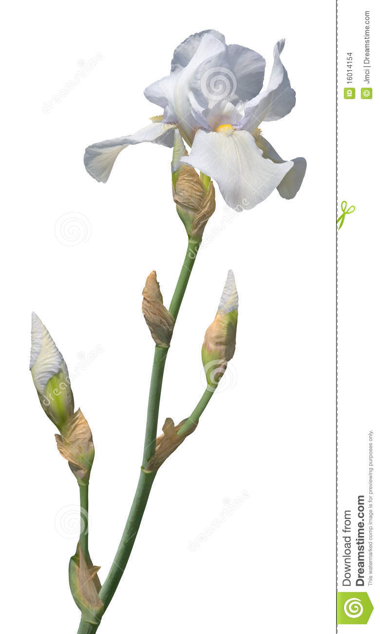 Pale Blue Bearded Iris Stock Images.