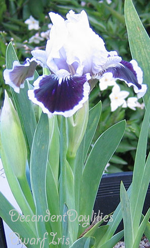 Daylilies in Australia Tall Bearded Iris Information How to Grow.