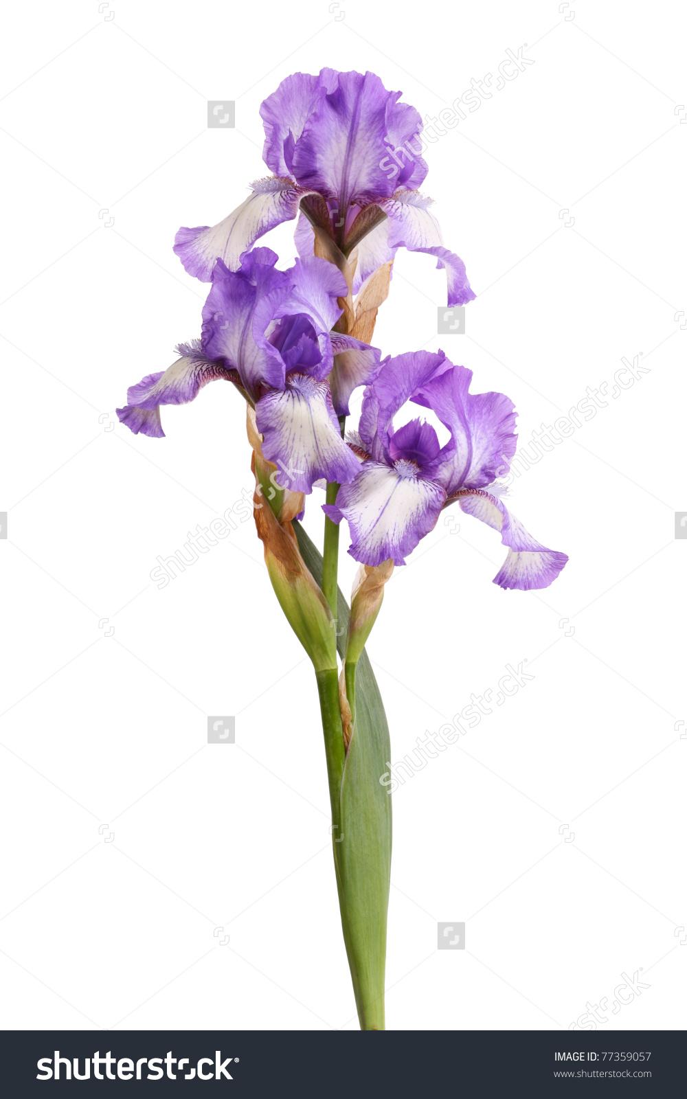 Stem Three Purple White Plicata Flowers Stock Photo 77359057.