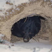 Picture of A Black Bear (Ursus americanus) looks out from its.
