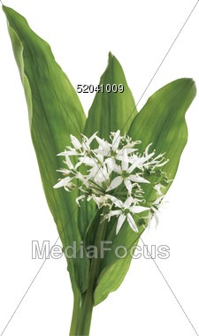 Stock Photo Bear Garlic Clipart.