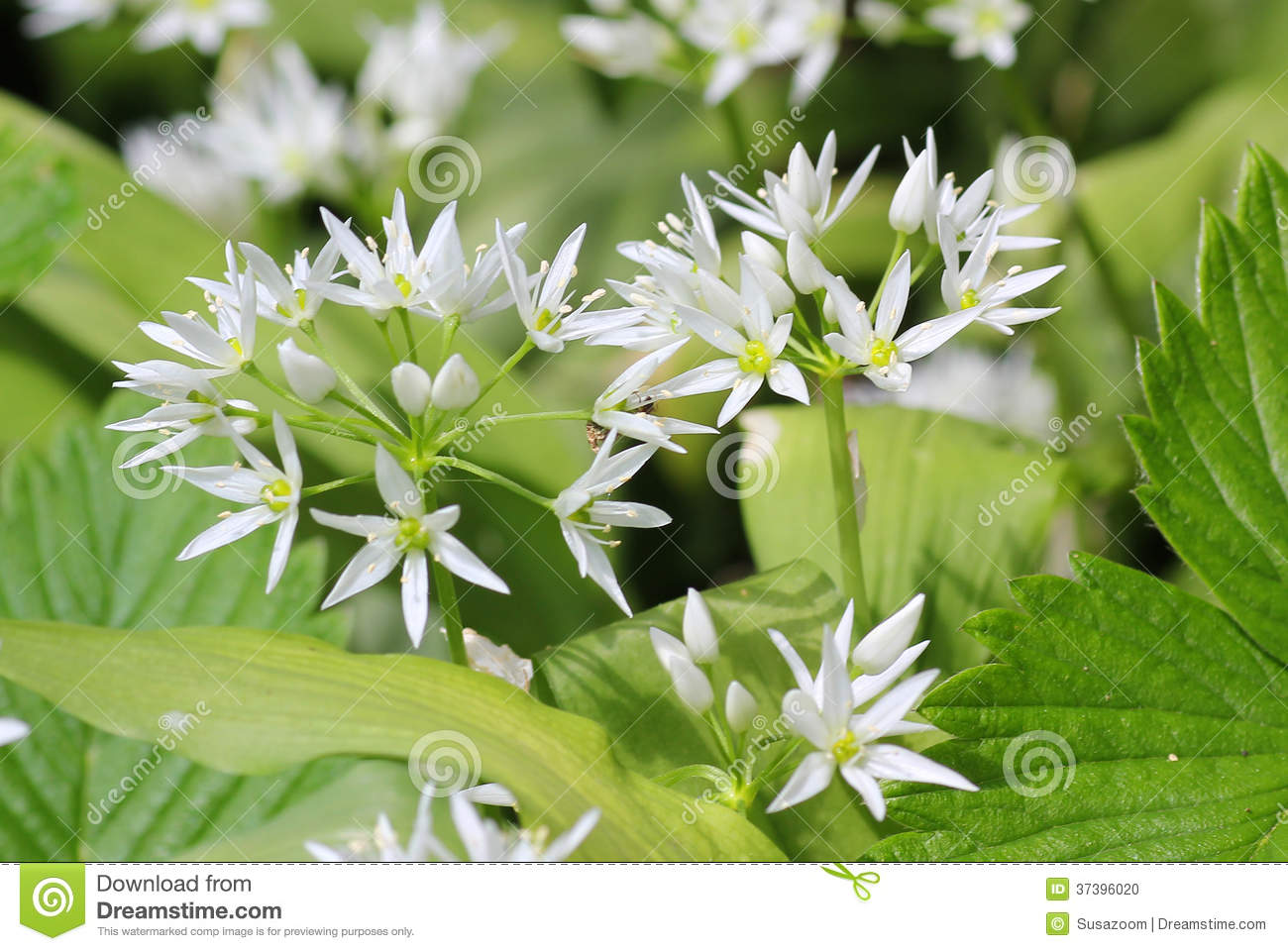 Wild Bears Garlic Flowers At Springtime, Edible Culinary Herb.