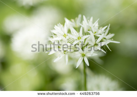 Ursinum Stock Photos, Royalty.