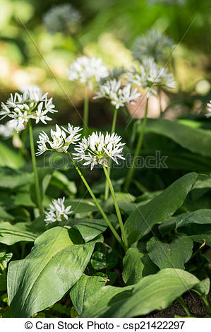 Stock Photographs of Bears garlic in bloom.