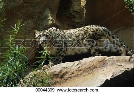 Stock Photograph of Juniors, Panthera, animal, animals, beast.