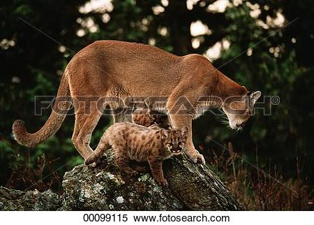 Stock Image of Felis, Juniors, animal, animals, beast, beast of.