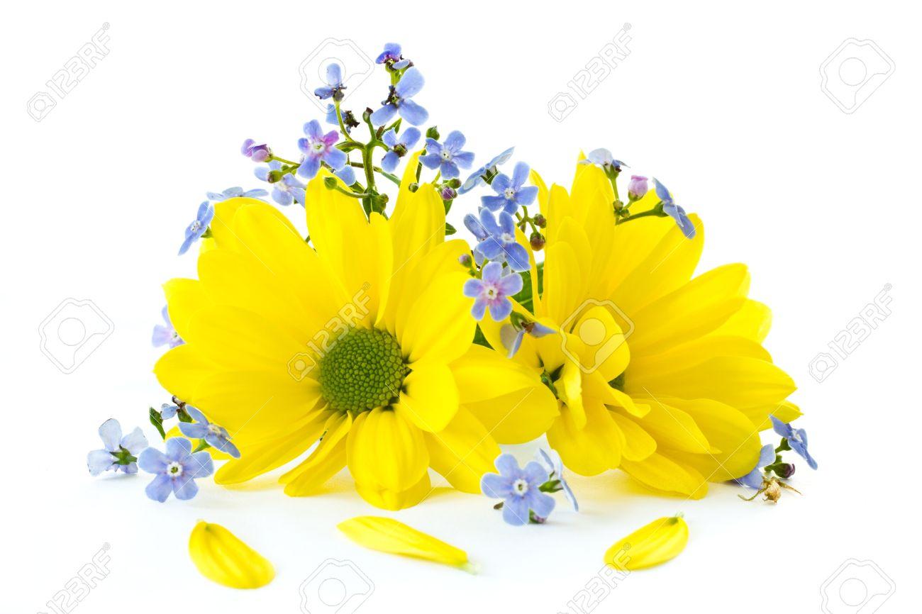 Beautiful Bright Flowers Chrysanthemum On A White Background Stock.