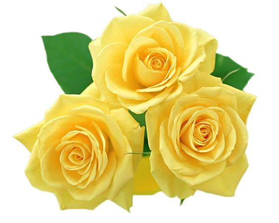 Yellow Roses PNG Clipart.