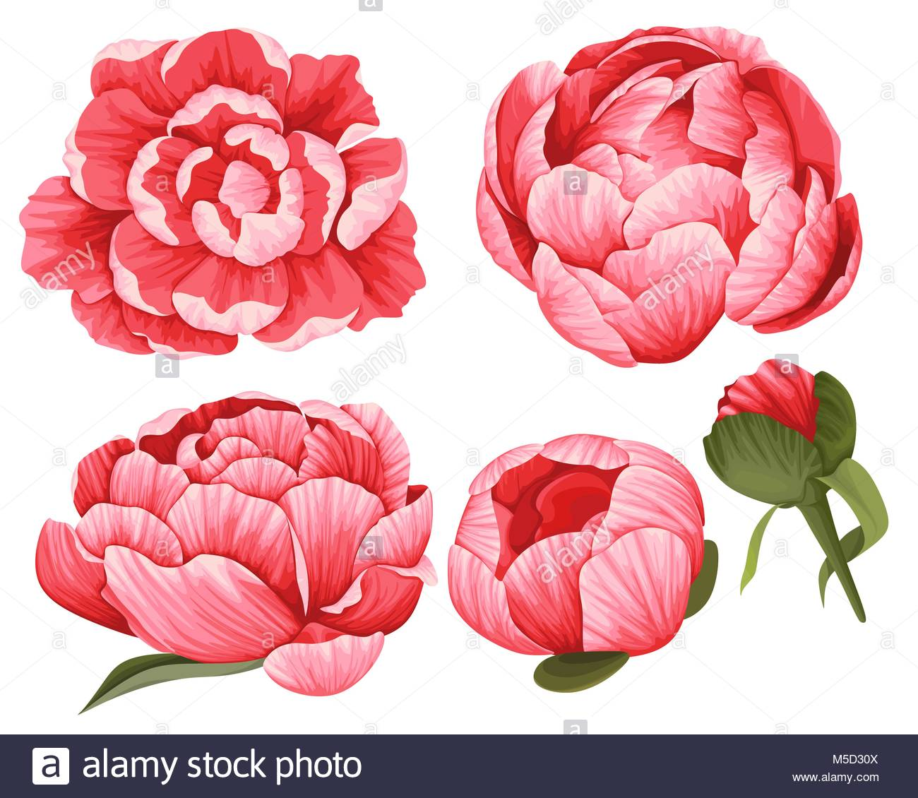 Peony Vector Clip Art Set of 5 Red beautiful Flowers image botanical.