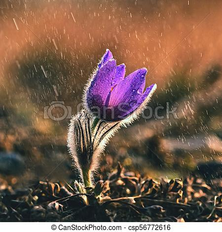 Spring and springtime flower in the rain. Blooming beautiful flowers on a  meadow in nature. Pasque flower and sun with a natural colored background..