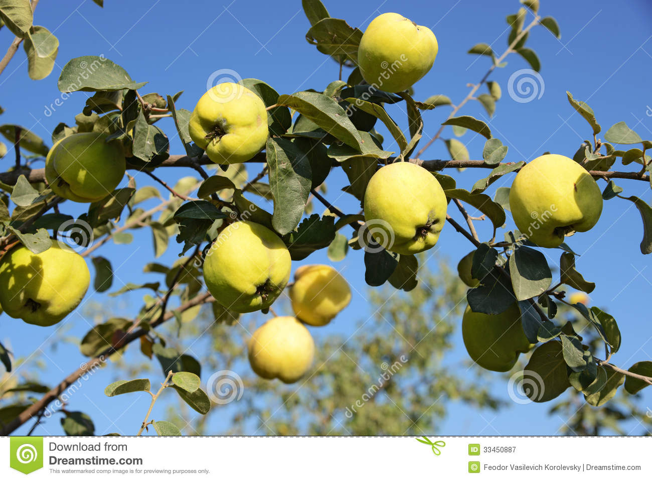 Quince Fruit Clipart.