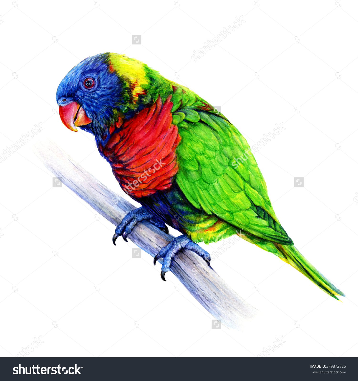 Rainbow Lorikeet Trichoglossus Moluccanus Australian Parrot Stock.