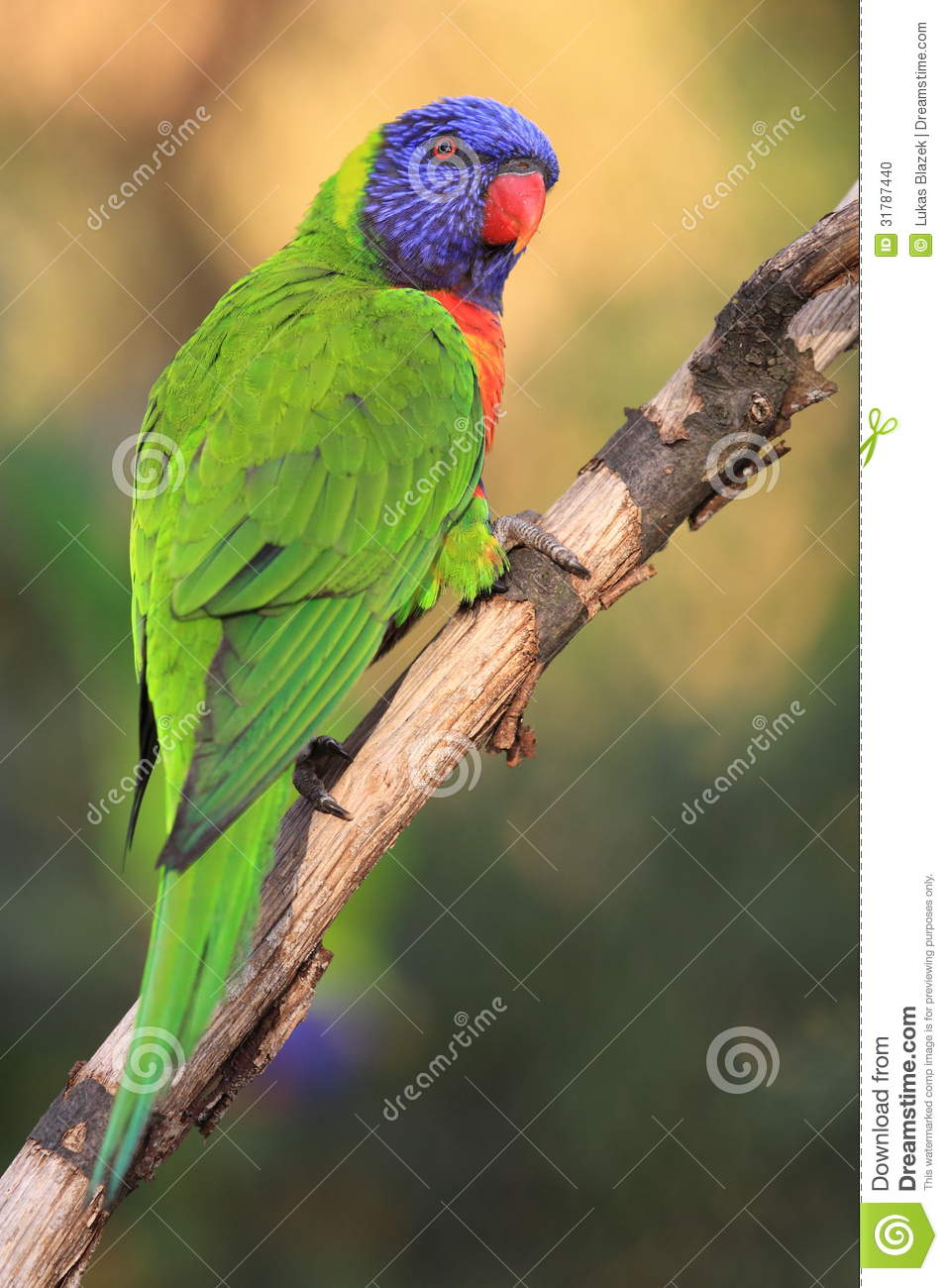 Rainbow Lorikeet Clipart Related Keywords & Suggestions, Long tail.