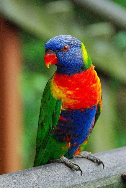 Rainbow lorikeet. A ridiculously brilliantly coloured bird.