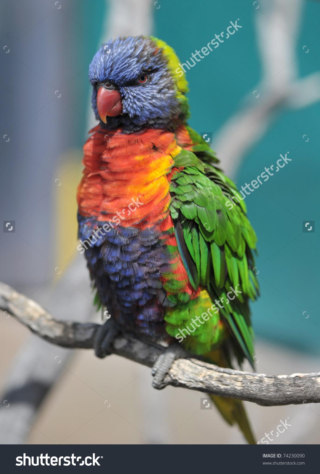Australian Rainbow Lorikeet Queensland Australia Exotic Stock.