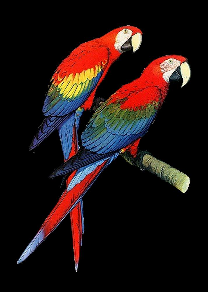 Best Parrot Clipart #16714.