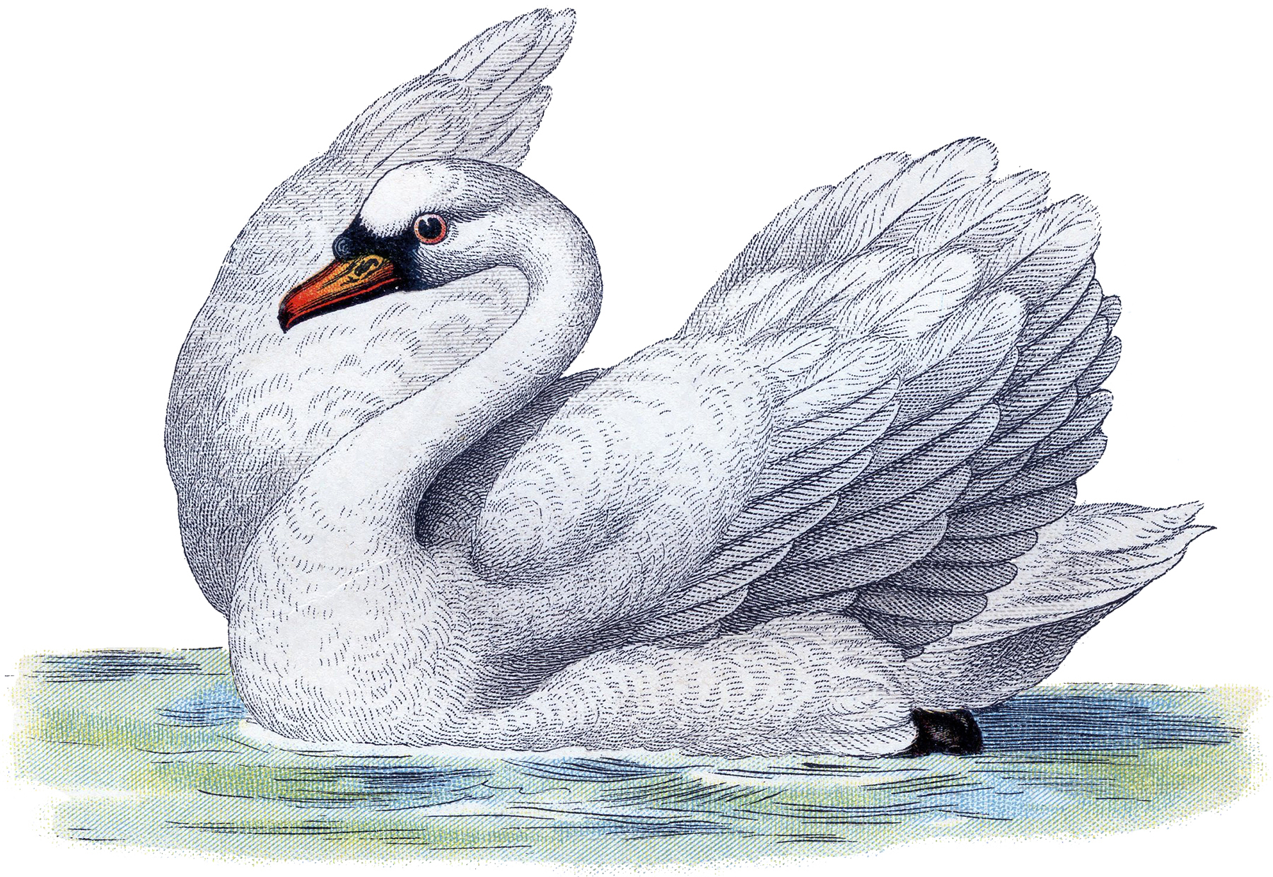 Best Free Swan Image!.